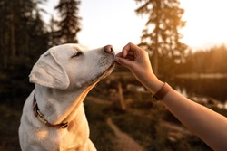 young beautiful labrador retriever puppy is eating some dog food out of humans hand outside during golden sunset