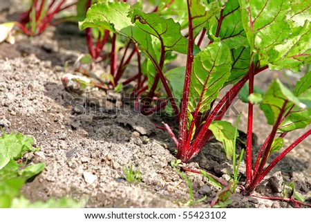 Young beet sprouts on a bed, shallow depth of field