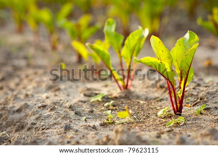 Young beet sprouts on a bed, shallow depth of field.