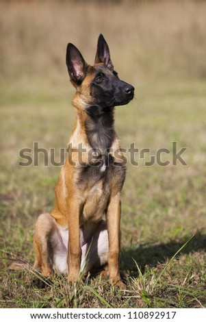 young Belgian shepherd