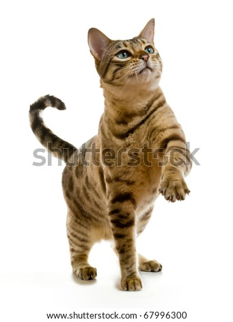 Young bengal cat or kitten clawing at the air while looking upwards towards some food - stock photo
