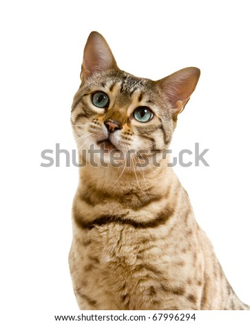 Young bengal cat or kitten looking at camera with a lonesome sad face