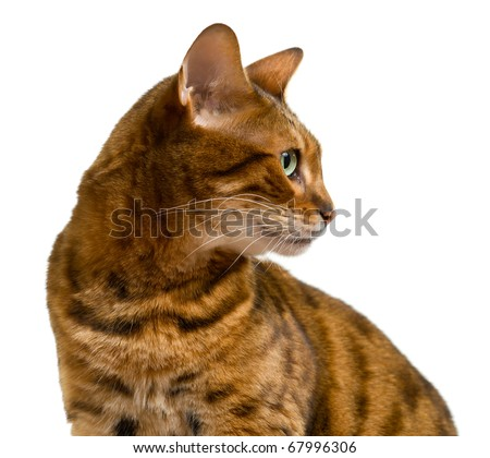 Young bengal cat or kitten looking sideways in a proud profile showing its wild history