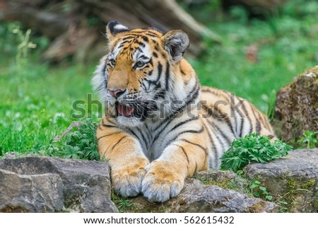 Shutterstock Young bengal tiger lying on the grass and shows his paws