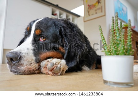 Young Bernese Mountain Dog lying on the kitchen floor, head on his paw, looking sideways to the camera.  #1461233804