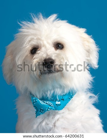 Young bichon frise puppy wearing bandana on blue background