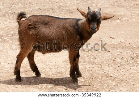 Young billy goat on the farm