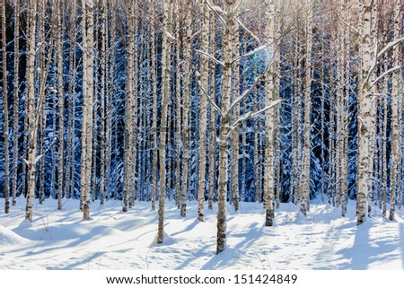 Stock Photo Young birch forest in winter in sunshine
