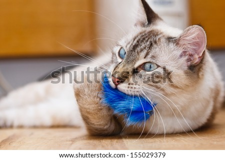 Young birman kitten playing with a fluffy toy