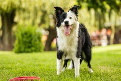 Young black and white border collie standing on grass with frisbee