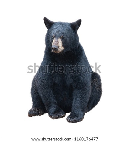 Young black bear sitting , isolated on white background