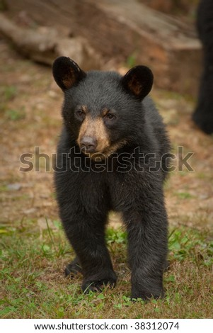 young black bear walking
