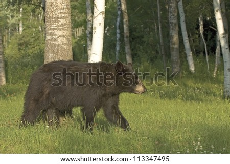 Young black bear walking in Northern Minnesota forest