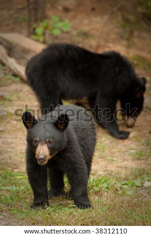 young black bear with mother in the background