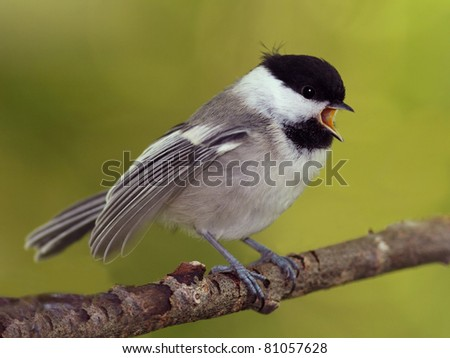 Young Black-capped Chickadee (Poecile atricapillus) begging for food - Ontario, Canada