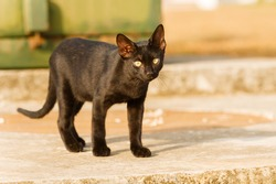 Young black cat walking outside.
