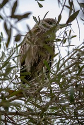 Young black crowned Night Heron of the species Nycticorax nycticorax