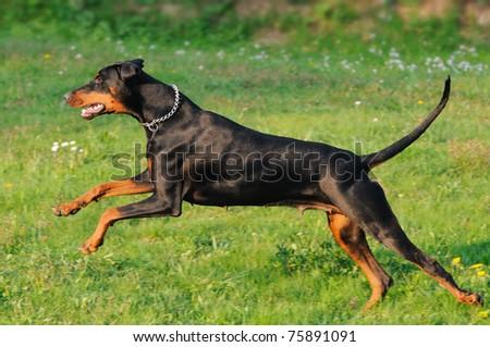 young black doberman dog running on the green grass  Dobermann