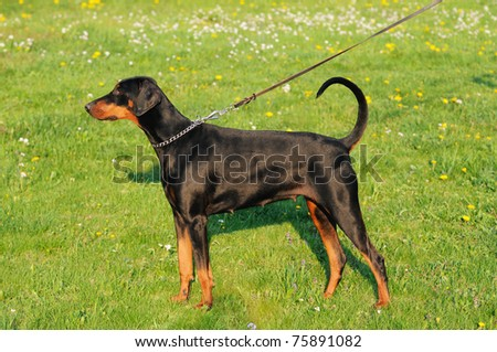 young black doberman dog stands on the green grass portrait Dobermann