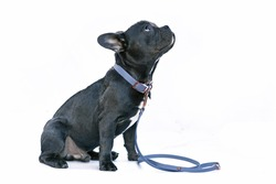 Young black French Bulldog dog with long healthy nose wearing a blue synthetic leather collar and leash set on white background