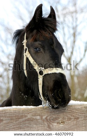 Young black horse in winter