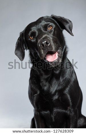 Young black labrador retriever dog. Studio shot.