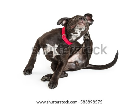 Young black puppy dog scratching itchy skin. Isolated on white.