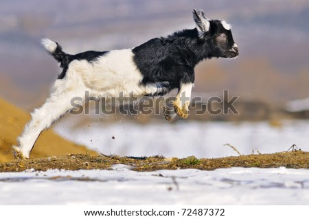 Young black white goatling playing outdoor