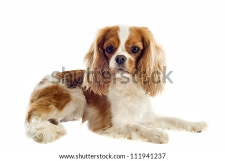 young blenheim cavalier king charles in front of white background