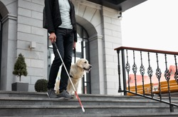 young blind man with stick and guide dog walking, golden retriever help owner to cross streets