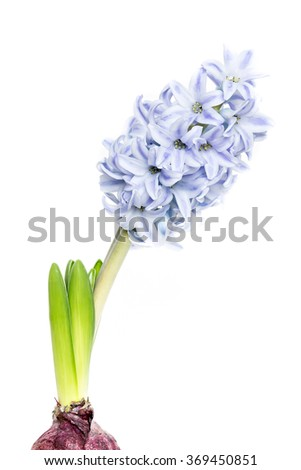 young blooming hyacinth  on white background, copy space #369450851