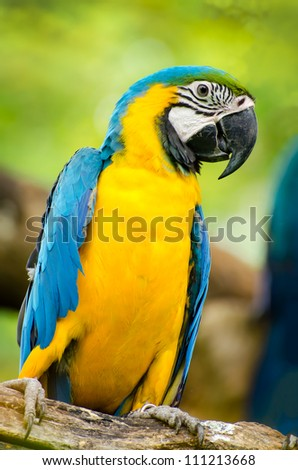 young blue and yellow macaw in nature