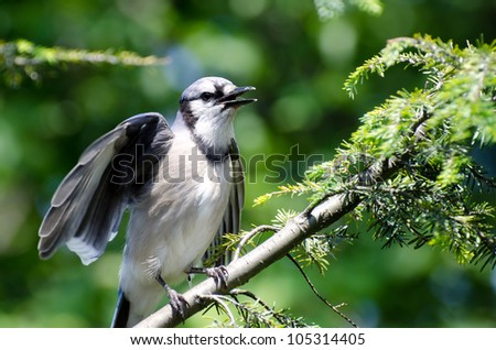 Young Blue Jay Calling Out To be Fed