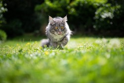 young blue tabby maine coon cat outdoors in the garden on grass sticking out tongue licking over it's nose ona sunny day looking ahead
