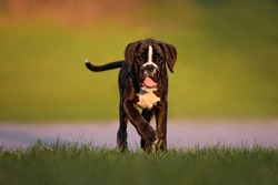 young boxer dog puppy walking outdoors at sunset
