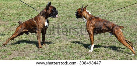 Young boxer dogs face to face