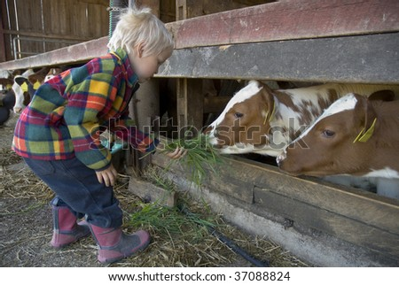 Young boy feeding cow with grass