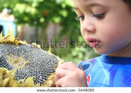 Young boy picking seeds off the big sunflower, an outdoor setting.