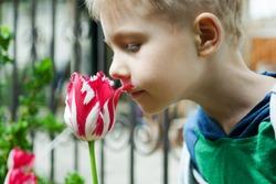 Young boy smells tulips flower in spring garden