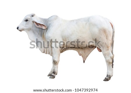 Young Brahman ox isolated on white background with clipping path
