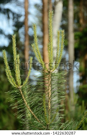 young branch of a pine against the background of out-of-focus trees #1422630287