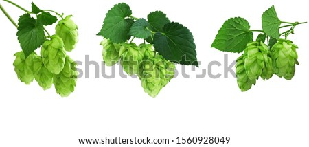 Young branches of hops with leaves. Hops herb for medicinal herb or phytotherapy. isolated hops plant flower for herbal natural medicine. Hop Cones. Natural plants isolated. Plant botanical foliage