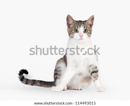 young brown bicolor domestic cat on white background