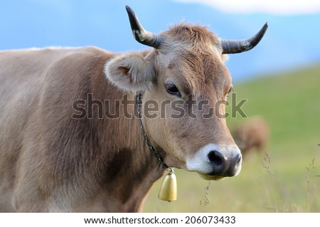 Young brown cow in summer meadow