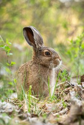 Young brown hare, lepus europaeus, sitting in grass in spring nature. Little long eared animal observing in forest. Vertical composition of baby wild rabbit sniffing the air in green wilderness.