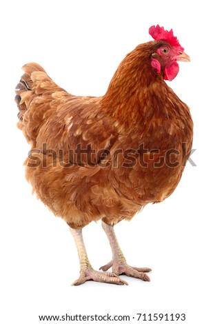young brown hen isolated on...