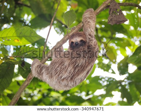 Young brown-throated three-toed sloth climbing on a branch in the jungle, Panama, Central America