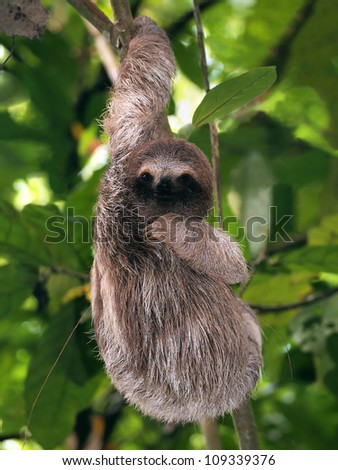 Young Brown-Throated Three-Toed sloth hanging from a branch, Bocas del Toro, Panama