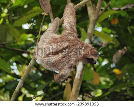 Young brown-throated three-toed sloth hanging from a branch in the jungle, Panama, Central America