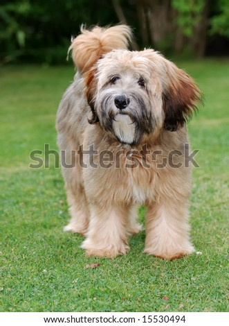 Tibetan Terrier Puppies on Terrier Puppy Isolated Tibetan Terrier Puppy Isolated Find Similar